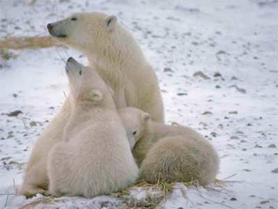Are Polar Bears in Danger?